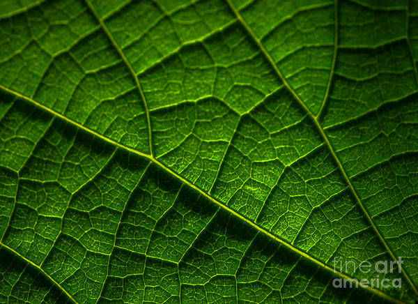 Photograph - Leaf In Sunlight by Tom Claud