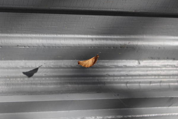 Photograph - Leaf In Suspense by Jason Nicholas