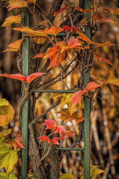 Photograph - Leaf Ladder by Bill Posner