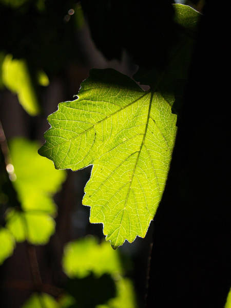 Photograph - Leaf Light I by James Granberry