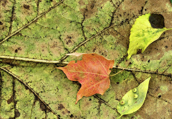 Photograph - Leaf Litter by Cate Franklyn