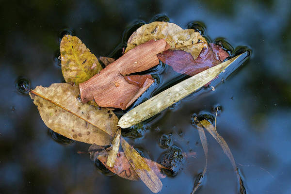 Photograph - Leaf Litter In Pond, Navegaon, 2011 by Hitendra SINKAR