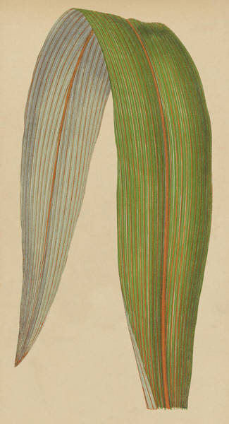Leafy Painting - Leaf Of A Mountain Cabbage Tree Or Bush Flax by English School