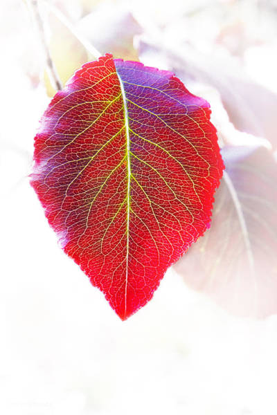Photograph - Leaf Of Autumn by Susan Vineyard