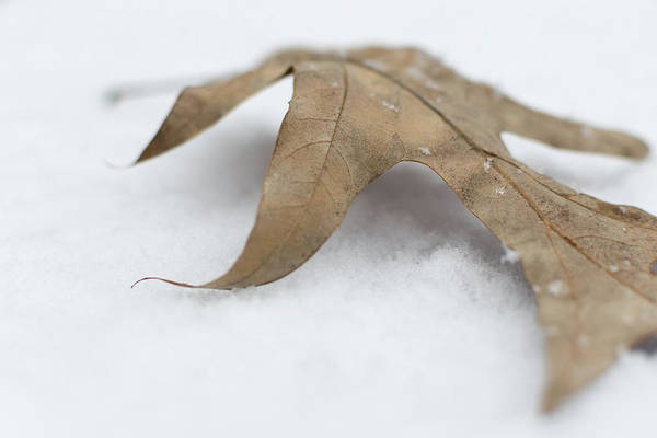Photograph - Leaf On Blanket Of Snow by Keith Smith