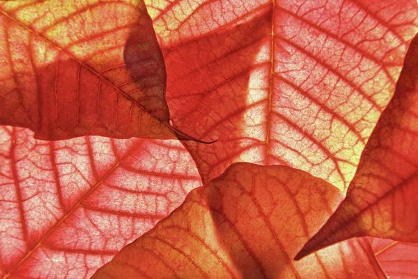 Photograph - Leaf Patterns II by Leda Robertson