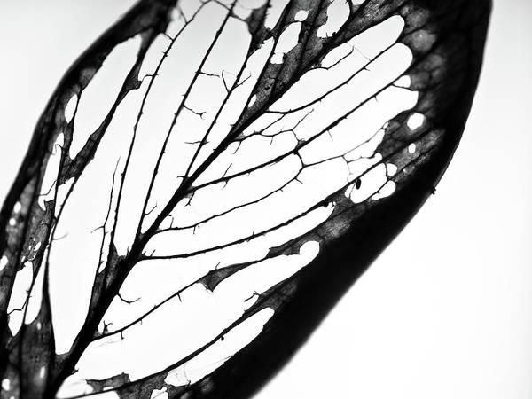 Photograph - Leaf Skeleton by Christopher Johnson