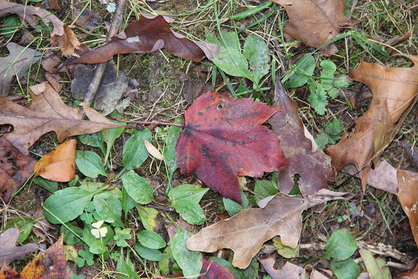 Photograph - Leaf Standing Out In A Crowd by Allen Nice-Webb