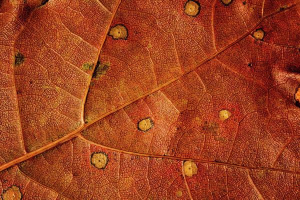 Photograph - Leaf Study 12 by Marzena Grabczynska Lorenc
