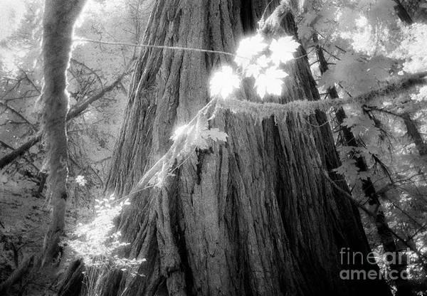 Photograph - Leaf Vines, Redwoods, California by Craig J Satterlee