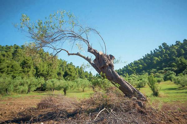 Olive Branch Digital Art - Leaning Olive Tree by Roy Pedersen