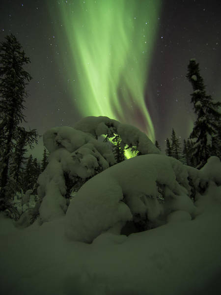 Photograph - Leaning Spruce Aurora by Ian Johnson