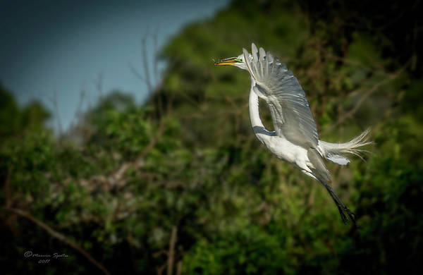 Egret Photograph - Leap Of Faith by Marvin Spates
