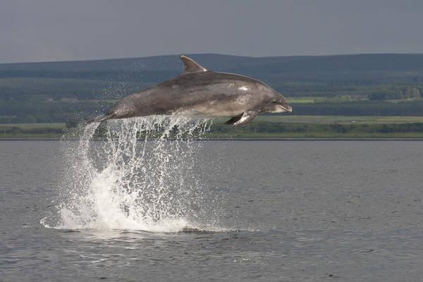 Photograph - Leaping Bottlenose Dolphin  - Scotland #39 by Karen Van Der Zijden