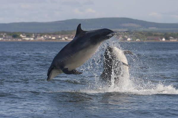 Photograph - Leaping Bottlenose Dolphins - Scotland  #30 by Karen Van Der Zijden