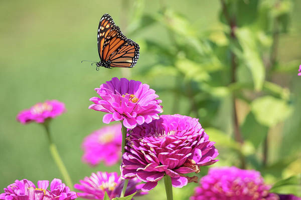 Photograph - Leaping Butterfly by Brian Hale