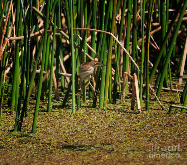 Ixobrychus Photograph - Least Bittern Perching In The Tall Reeds by Louise Heusinkveld