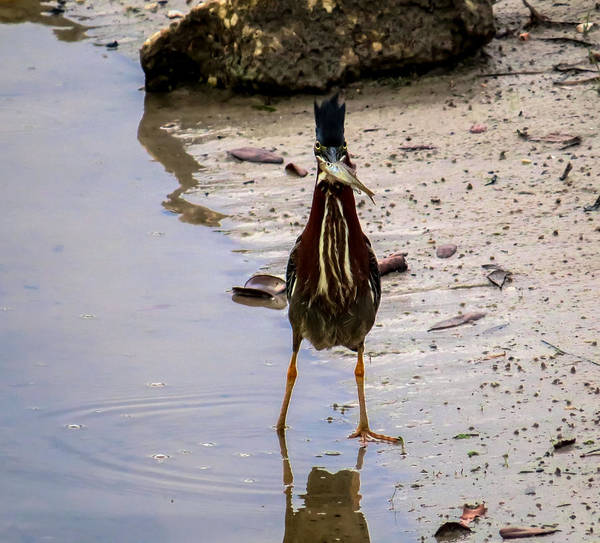 Ixobrychus Photograph - Least Bittern With A Fish by Zina Stromberg