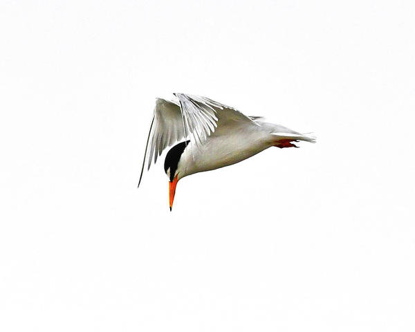 Photograph - Least Tern  by Ken Stampfer