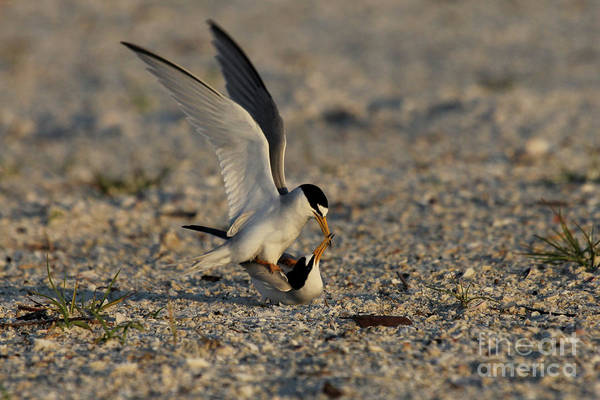 Photograph - Least Terns In The Summertime by Meg Rousher