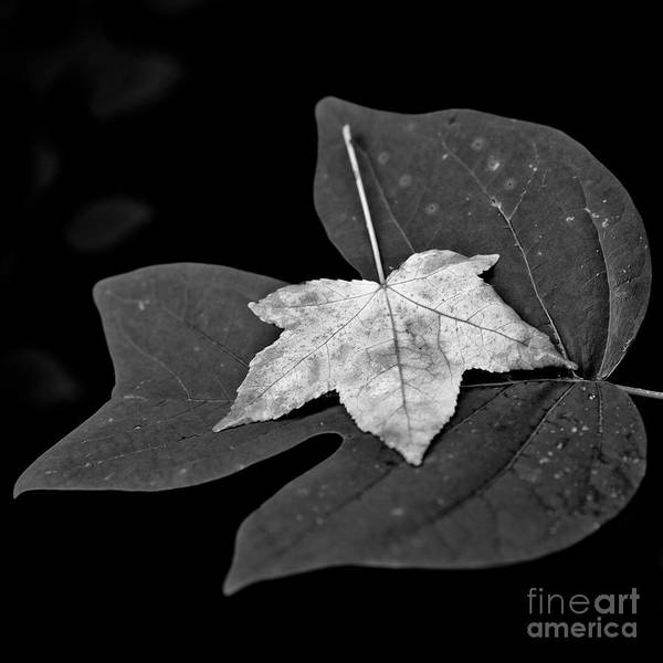Photograph - Leaves 1 by Patrick M Lynch