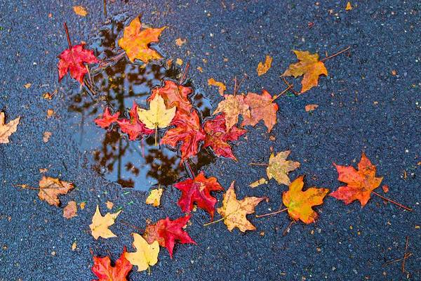 Photograph - Leaves Fallen In A Sidewalk Puddle by Polly Castor