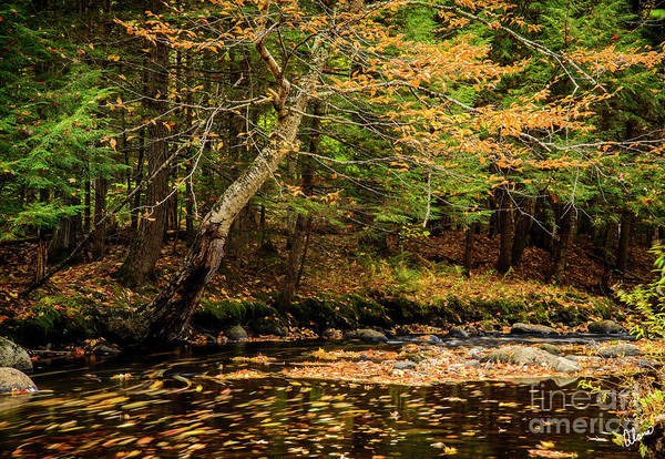 Photograph - Leaves Floating by Alana Ranney