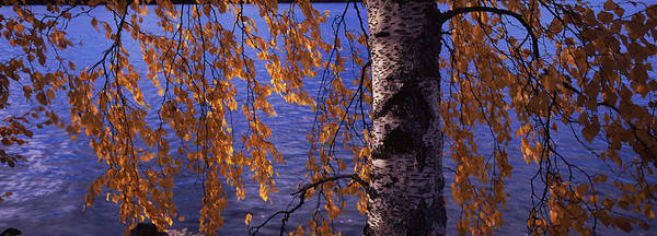 Birch River Photograph - Leaves Of A Birch Tree, Vuoksi River by Panoramic Images