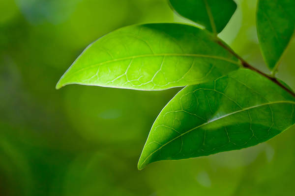 Wall Art - Photograph - Leaves Of Green by Az Jackson