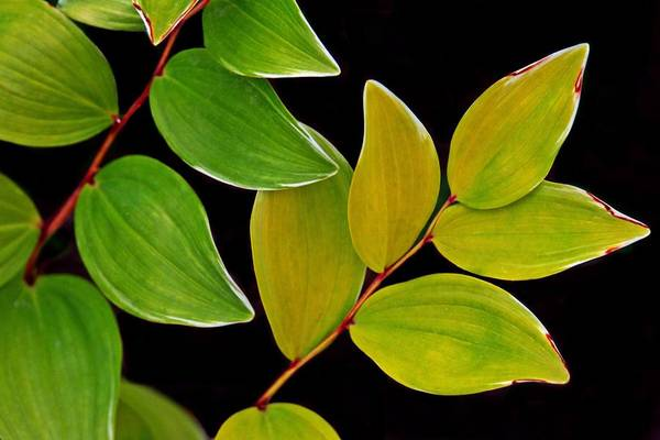 Photograph - Leaves On Black by Patricia Strand