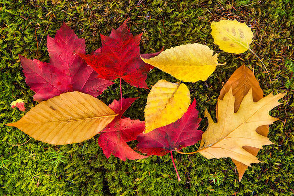 Photograph - Leaves On Moss by Michael Blanchette