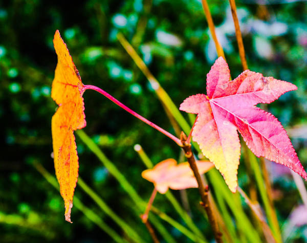 Photograph - Leaves by Stacey Rosebrock