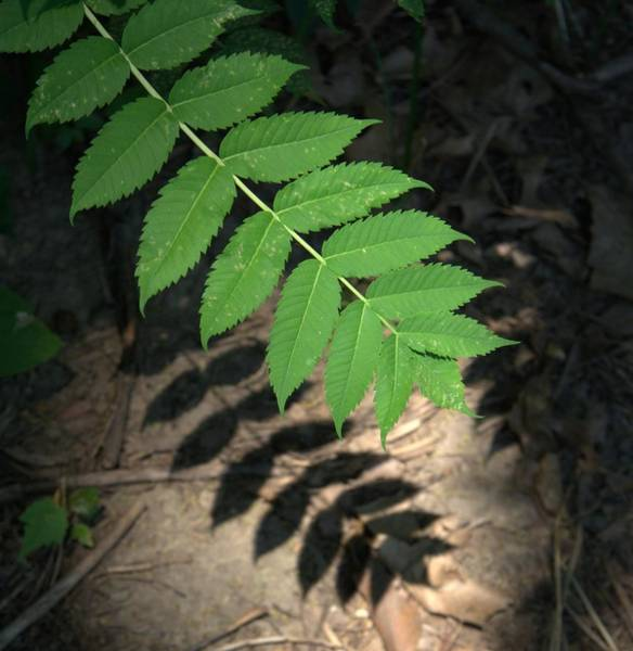 Photograph - Leaves With Shadow by David Coblitz