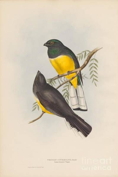Painting - Lemon-breasted Trogon by Celestial Images