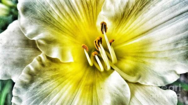 Photograph - Lemon Cream Daylilly by Rachel Hannah
