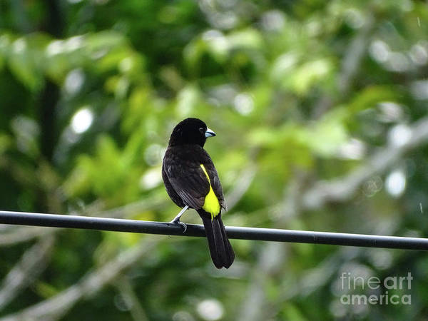 Lemon-rumped Tanager Art Print