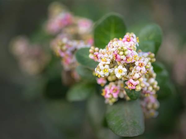Photograph - Lemonade Berry Flowers by Alexander Kunz