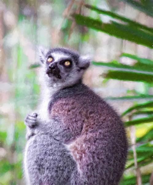 Photograph - Lemur's Gaze by Alice Gipson