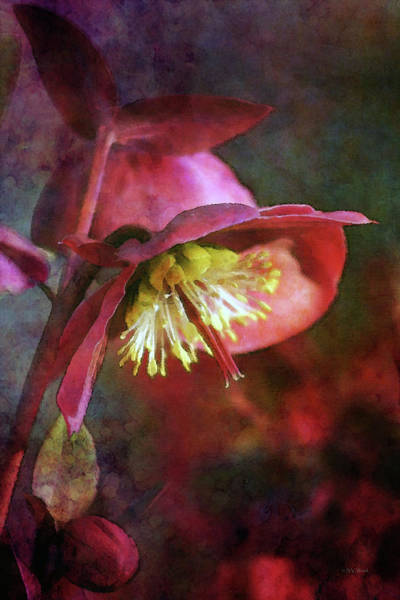 Lenten Rose Bowing To The Sun 8712 Idp_2 Art Print