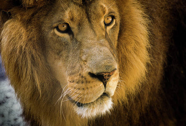 Photograph - Leo The Lion by Robert Potts