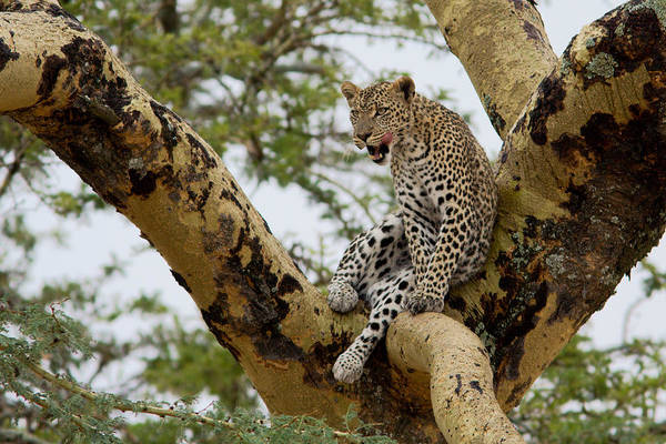 Photograph - Leopard by Aivar Mikko