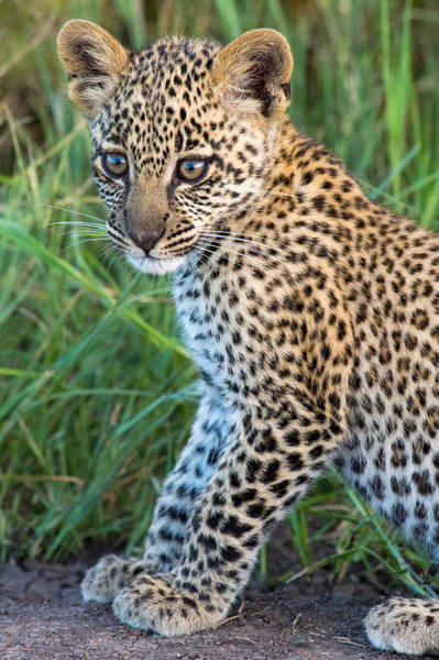 Panthera Pardus Photograph - Leopard Cub Panthera Pardus, Serengeti by Panoramic Images