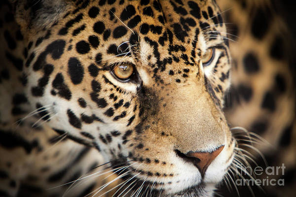 Art Print featuring the photograph Leopard Face by John Wadleigh