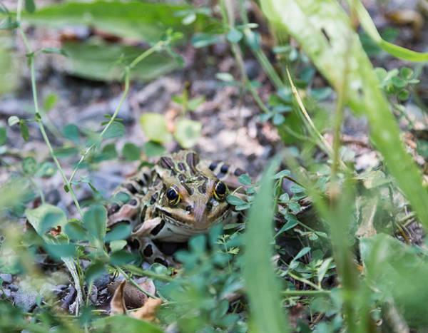 Photograph - Leopard Frog by Michael Chatt