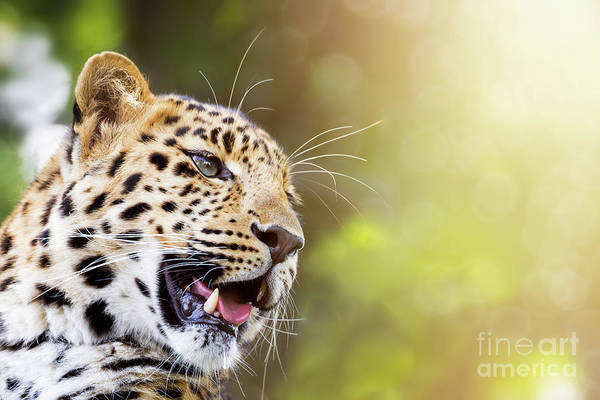 Wall Art - Photograph - Leopard In Sunlight by Jane Rix