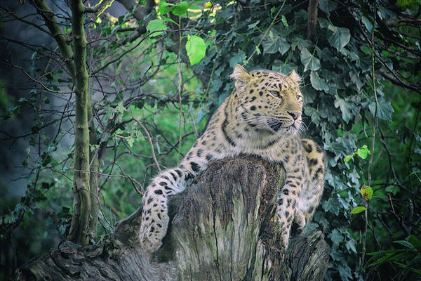 Beauty Spot Photograph - Leopard Lookout by Martin Newman