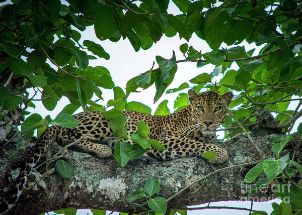 Indian Banyan Photograph - Leopard On A Banyan Tree by Samanvitha Rao