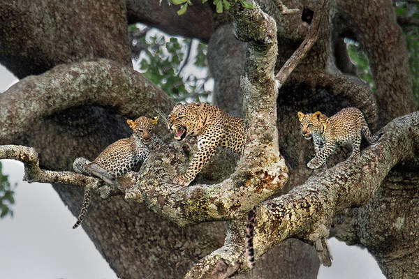 Panthera Pardus Photograph - Leopard Panthera Pardus Family On Tree by Panoramic Images