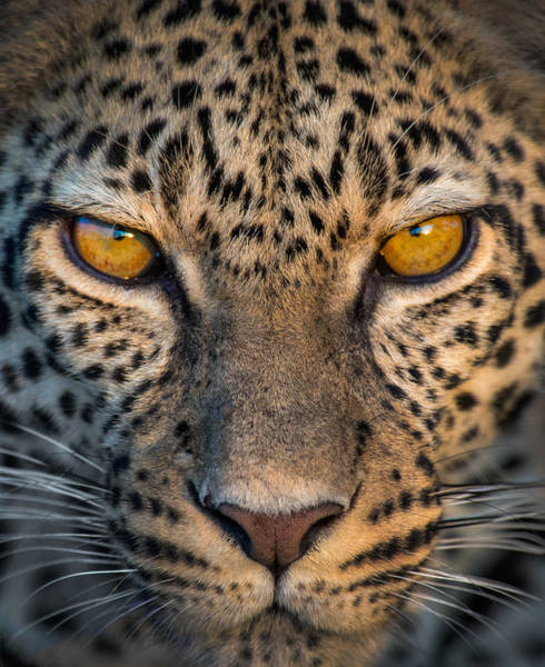 Panthera Pardus Photograph - Leopard Panthera Pardus, Ndutu by Panoramic Images