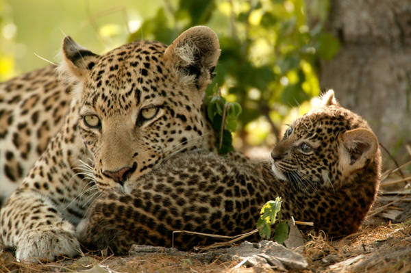 Panthera Pardus Photograph - Leopard Panthera Pardus  With Young Cub by Beverly Joubert